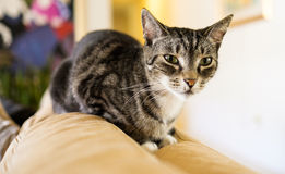 Pretty cat Royalty Free Stock Images