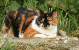 A pretty Cat Felis catus lying down on a rock. Royalty Free Stock Photography