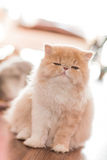 Pretty cat on floor Stock Image
