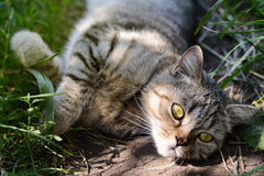 Pretty Cat or Kitten Lying in Grass, Outdoor Shot. At Sunny Summer Day Stock Image
