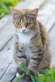Pretty Cat or Kitten, Sitting on Boards. Pretty Cat or Kitten with White and Brown Hair, Sitting on Boards, Outdoor Shot at Summer Day Royalty Free Stock Image