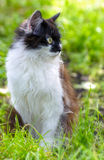 Pretty Cat or Kitten with White and Brown Hair. Sitting in Grass, Outdoor Shot at Sunny Summer Day Stock Photos