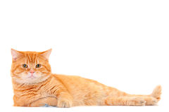 Pretty cat lying. Isolated on white Royalty Free Stock Photo