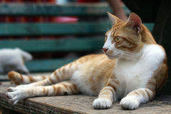 Pretty cat lying outdoors Stock Photography