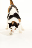 Pretty cat. An  photo of a calico cat Stock Photos