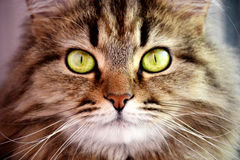 Pretty Cat Royalty Free Stock Photography