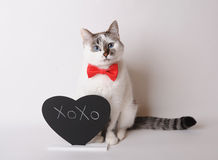 Pretty cat in red bow tie with inscription XOXO. White cat with blue eyes in red bow tie with inscription XOXO on the blackboard Stock Photography
