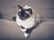 Pretty cat relaxing on sofa Stock Photography