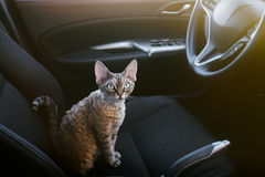 Pretty cat is sitting inside a car on the drivers seat, looking to the right side Royalty Free Stock Images
