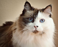 Pretty Cat. Up close photo of a Ragdoll cat royalty free stock photography