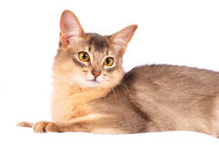 Pretty cat on white background. Pretty purebred somali cat lying on white sofa portrait Royalty Free Stock Photography