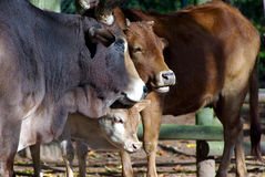 Pretty cattles. Foal cattle and two grown cattles Royalty Free Stock Photography