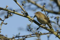 A pretty Chiffchaff Phylloscopus collybita perched on a branch of a tree . A Chiffchaff Phylloscopus collybita perched on a branch of a tree Royalty Free Stock Photography