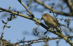 A pretty Chiffchaff Phylloscopus collybita perched on a branch of a tree singing. A Chiffchaff Phylloscopus collybita perched on a branch of a tree singing Royalty Free Stock Photos