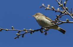 A pretty Chiffchaff Phylloscopus collybita perched on a branch of a tree singing. A stunning Chiffchaff Phylloscopus collybita perched on a branch of a tree Stock Photos