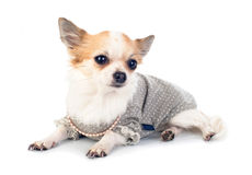 Pretty Chihuahua dressed in fashionable dress Royalty Free Stock Photo