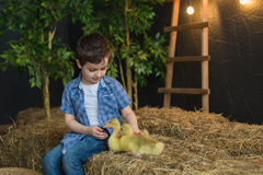 Pretty child in blue shirt feeding of geese on farm Stock Photos