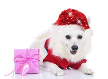 Pretty christmas dog with gift box Stock Photos