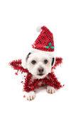 Pretty Christmas Star Dog. A cute maltese terrier lying down with a red tinsel Christmas star and santa hat Royalty Free Stock Photo