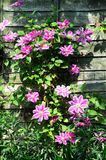 Pretty clematis growing up a wooden fence. Stock Photography
