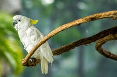 White cockatoo in a branch Royalty Free Stock Photography
