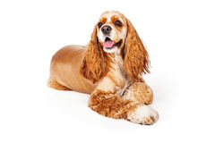Pretty Cocker Spaniel Laying Down Royalty Free Stock Images