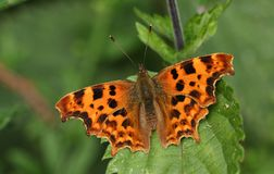 A stunning Comma Butterfly Polygonia c-album perching on a leaf. Royalty Free Stock Photography