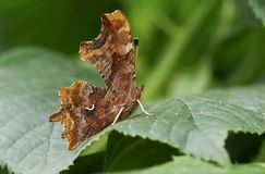 A stunning Comma Butterfly Polygonia c-album perching on a leaf. Royalty Free Stock Photos