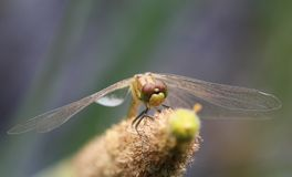 A Common Darter Dragonfly Sympetrum striolatum perched on a bulrush. Stock Photos