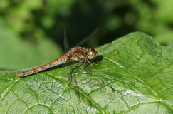 A Common Darter Dragonfly Sympetrum striolatum perched on a leaf. Royalty Free Stock Photography