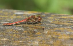 A Common Darter Dragonfly Sympetrum striolatum perched on a wooden fence. Stock Photography