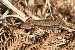 A stunning Common Lizard Lacerta Zootoca vivipara warming itself in the spring sunshine on leaf litter on the ground. A pretty Common Lizard Lacerta Zootoca Stock Photography