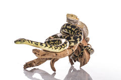 Pretty cool lizard and cute snake python in friendly embraces on a white background Royalty Free Stock Photos