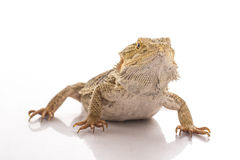 Pretty cool lizard on a white background Stock Photos