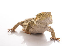 Pretty cool lizard on a white background Stock Images