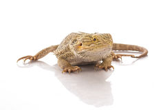 Pretty cool lizard on a white background Stock Image