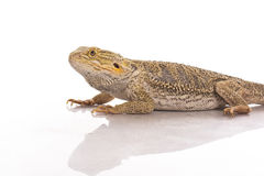 Pretty cool lizard on a white background Stock Photography