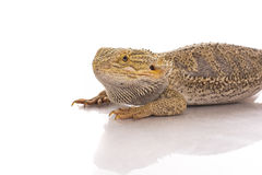 Pretty cool lizard on a white background Royalty Free Stock Photo