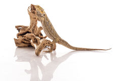 Pretty cool lizard on a white background Royalty Free Stock Photography