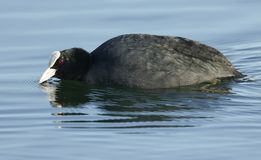 A stunning Coot Fulica atra swimming in a lake. A pretty Coot Fulica atra swimming in a lake Stock Photo