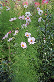Pretty cosmos flowers Stock Photography