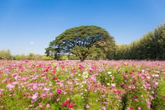 Pretty cosmos flowers and big tree in the garden. With sky background stock photos