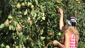Pretty country woman girl picking pear fruits from the pear tree to wicker basket. Focus change. 4K stock video footage