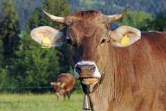 A pretty cow Royalty Free Stock Photos