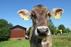 Pretty cow Stock Photography