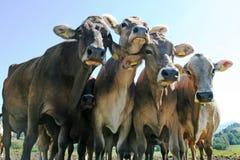 Pretty cows Stock Image