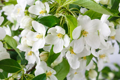 Pretty Crab Apple Blossoms in Lower corner on Rustic White Board Slats Background with empty blank room or space for text Royalty Free Stock Images