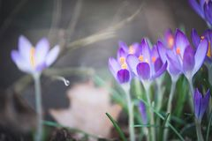 Pretty crocuses flowers, outdoor springtime nature Royalty Free Stock Images