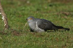 A stunning Cuckoo Cuculus canorus searching on the ground in a meadow for food. A pretty Cuckoo Cuculus canorus searching on the ground in a meadow for food royalty free stock images