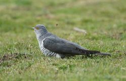 A stunning Cuckoo Cuculus canorus searching on the ground in a meadow for food. A pretty Cuckoo Cuculus canorus searching on the ground in a meadow for food royalty free stock image